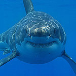 Great white shark. Photographer: Hermanus Backpackers
