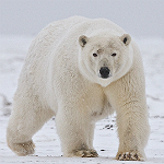 Polar bear. Photogrpaher: Alan D Wilson